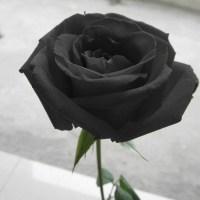 Black Rose Flower Garden