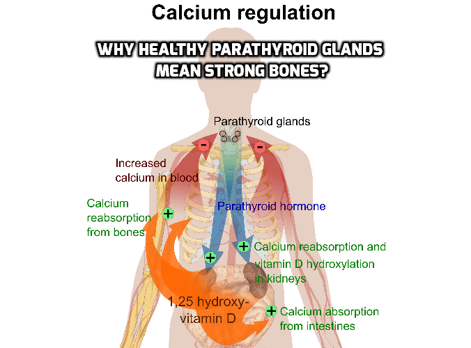 Is there Link between Strong Bones and Healthy Parathyroid Glands? Strong bones need healthy parathyroid glands. The parathyroid glands keep your bones strong by ensuring your body gets the calcium it needs to maintain bone strength.