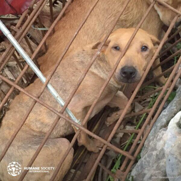 North Korea Collects Family Dogs For Slaughter During Food ...