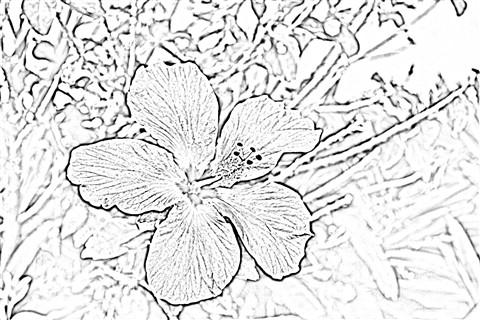 Hibiscus Sketch: John of Brisbane: Galleries: Digital