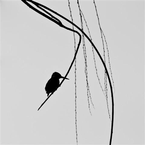 Kingfisher Silhouette: Umijin: Galleries: Digital
