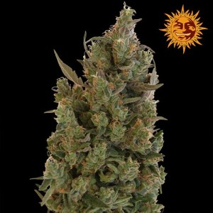 blue cheese feminized seeds