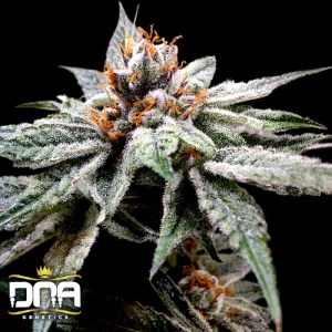DJs gold feminized seeds
