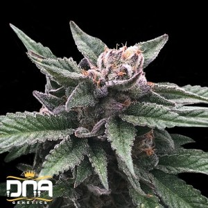 triple scoop feminized seeds