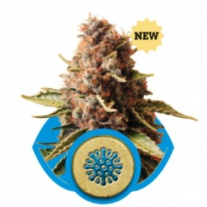 euphoria feminized seeds