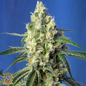 green poison cbd feminized seeds