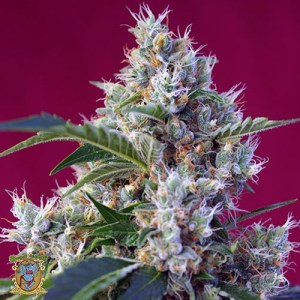indigo berry kush feminized seeds
