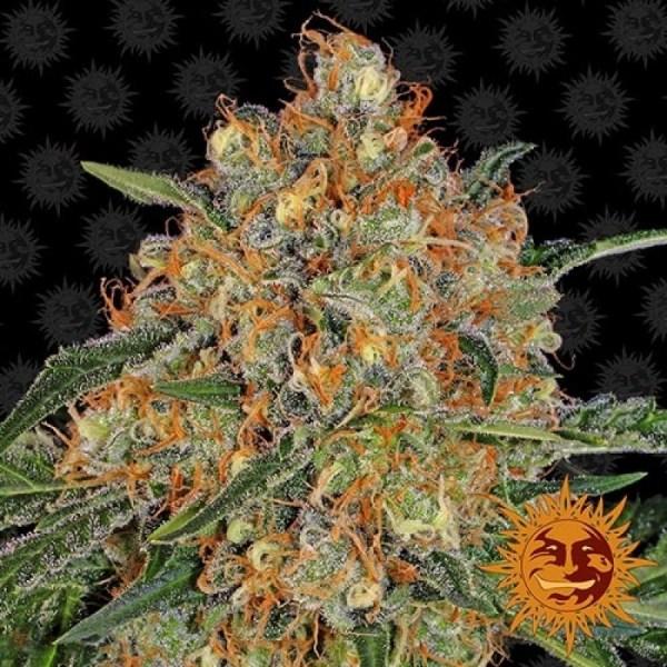 orange sherbert feminized seeds