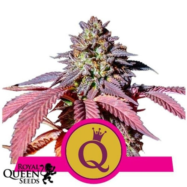 purple queen feminized seeds