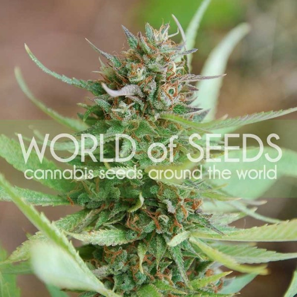 strawberry blue feminized seeds