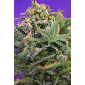 sweet cheese feminized seeds