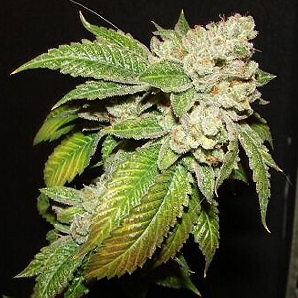 Larry og kush feminized seeds