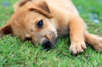 Pressure Sores on Dogs: Causes & Symptoms