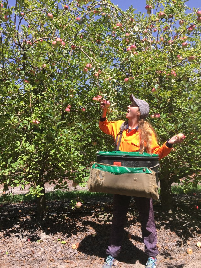 apple picking Australia farm work traveler