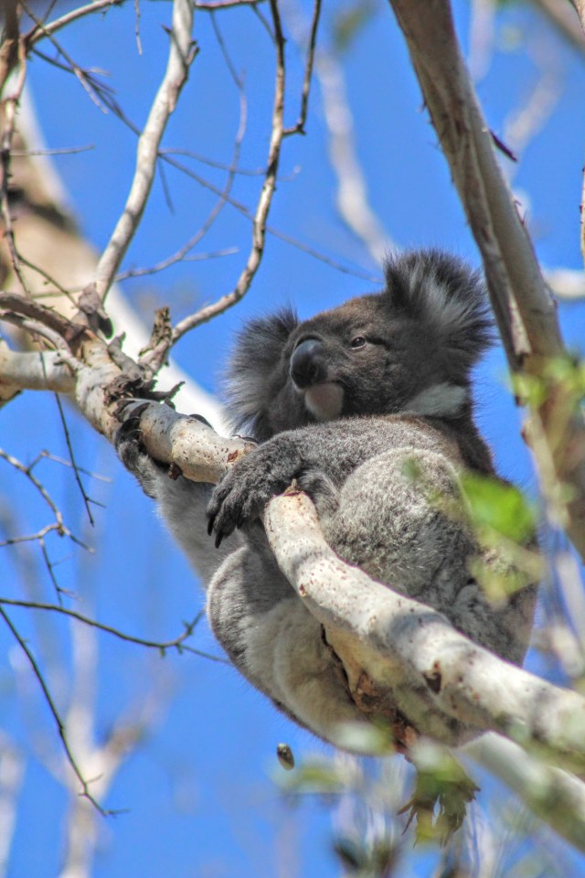 travel Australian wildlife koala