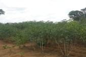 Le Programme Graine d'Oyem a déjà expédié 5 tonnes de manioc à Libreville