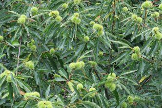Esskastanienbaum im August