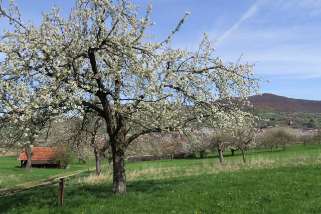 Kirschblütenweg Schwäbische Alb Streuobstwiesen