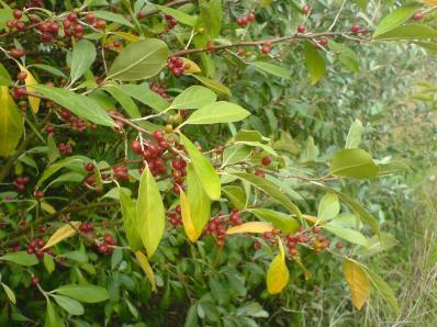 Elaeagnus fruit