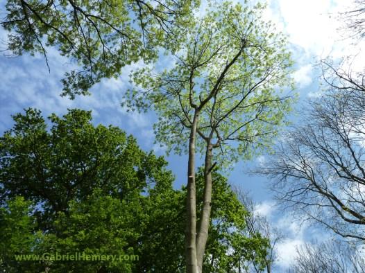 oak before ash