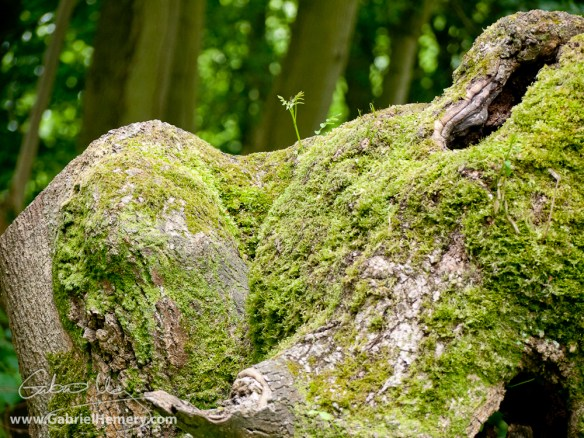 Ancient ash coppice stool regenerates