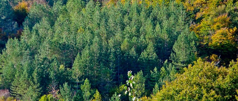 Forest of Dean plantation
