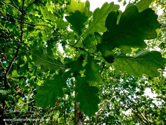 Oak sun and shade leaves