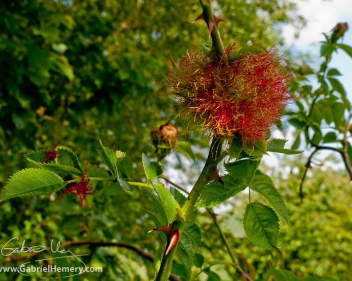 Robin's pincushion gall - Diplolepis rosae