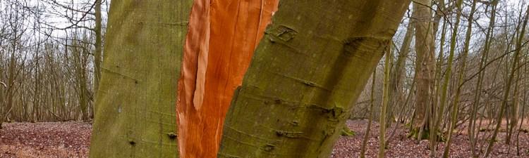 Beech tree rent asunder