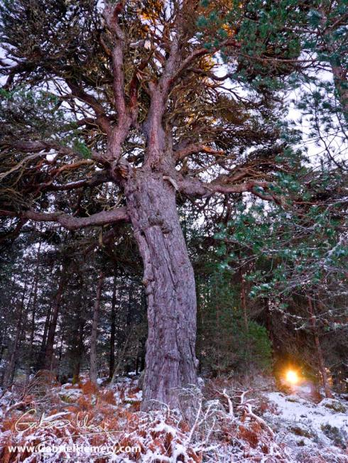 Caledonian pine and winter sun