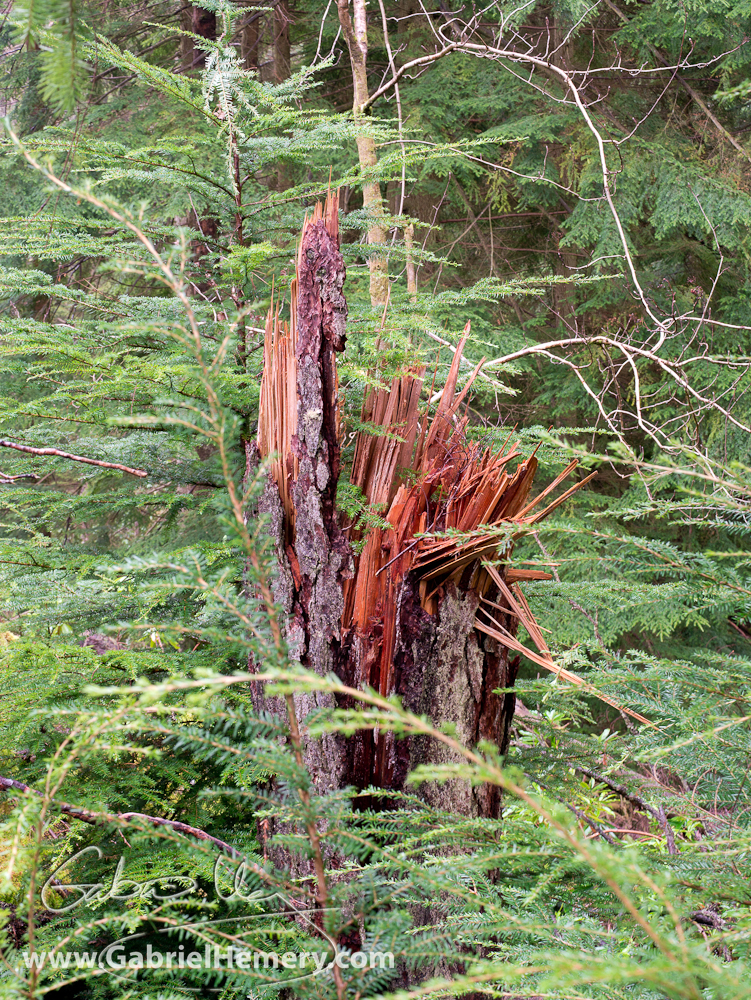 Newly snapped tree stem at Pucks Glen