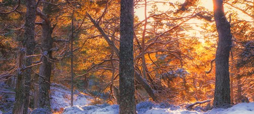 Winter Caledonian pinewood with Scots pine (Pinus sylvestris)