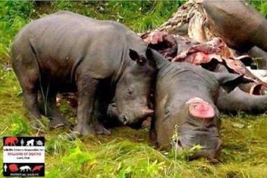 piccolo rinoceronte