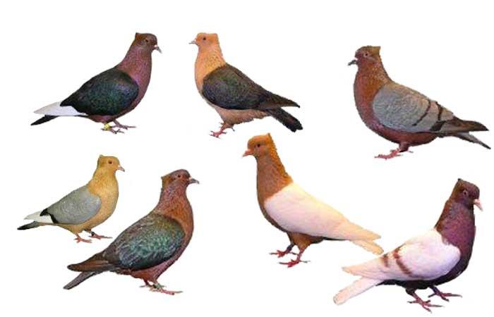 Burung merpati sebagai burung peliharaan