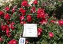 Una rosa alemana gana el 63º concurso internacional 'Villa de Madrid'