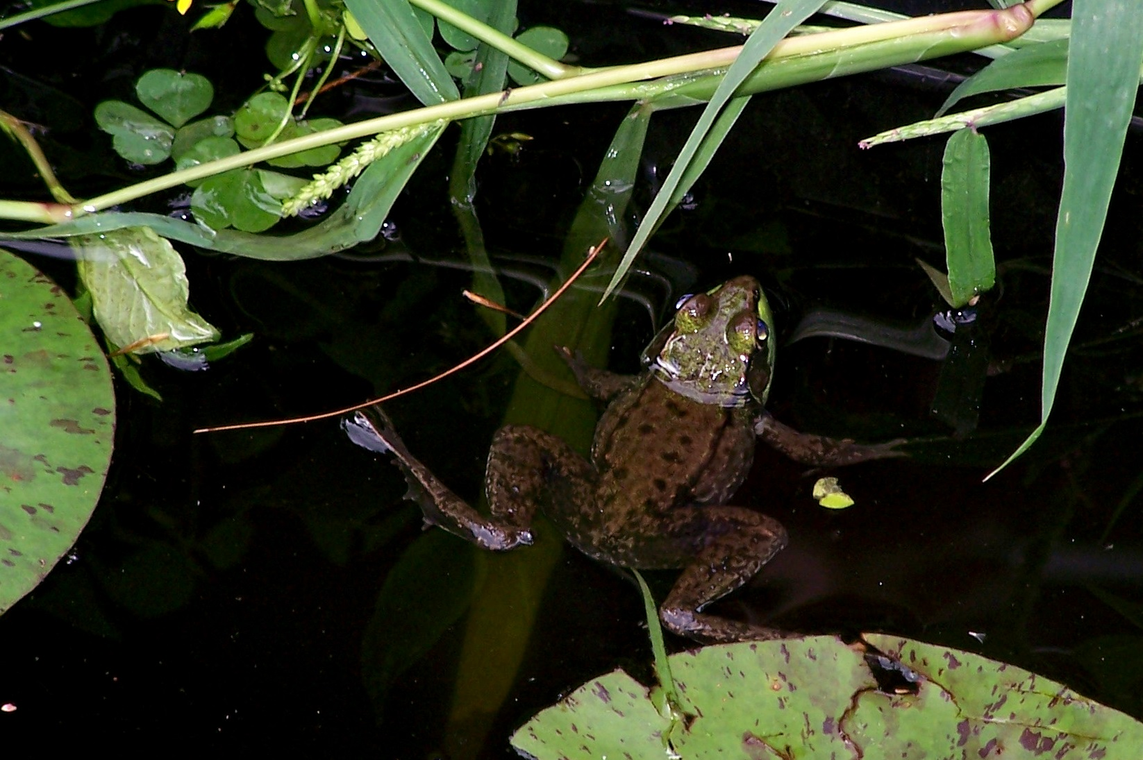 Here our little frog neighbor hangs in the water.