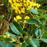Phytochemical studies have revealed that the plant contains terpenoids, aurone and isoflavonoids glycosides and associated phenolic compounds