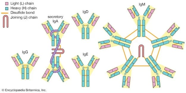 Antibodies (Immunoglobulins) | classes, interaction with antigens and use