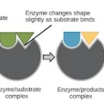 Enzymes are biocatalysts