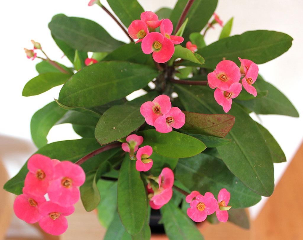 Euphorbia indoor plant