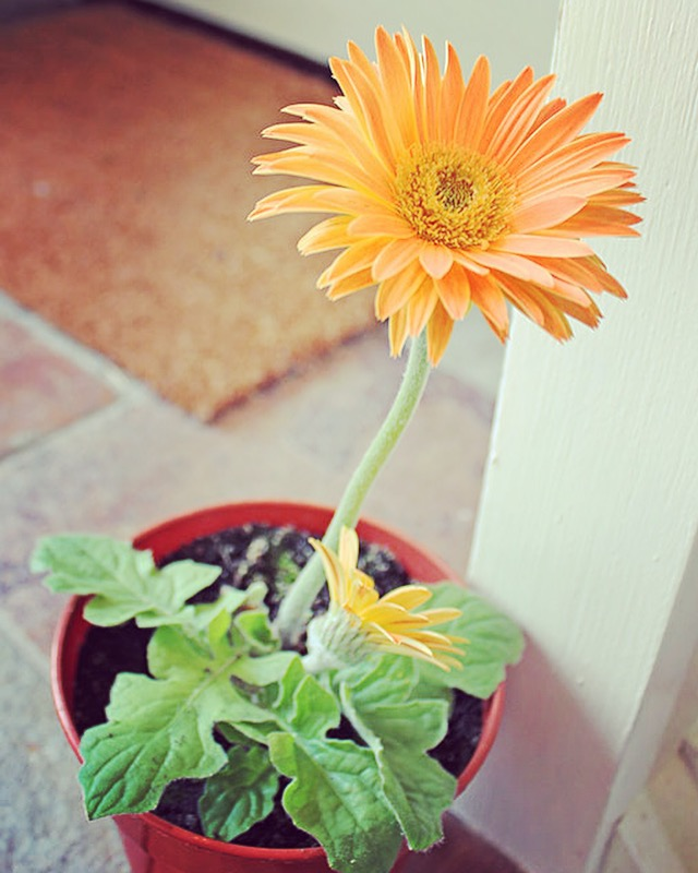 Gerbera Daisy indoor plant