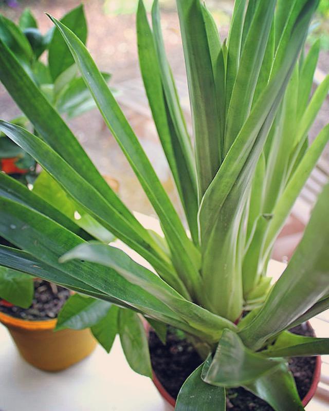 Bromeliad indoor plant