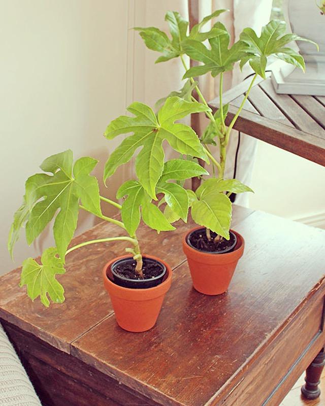 Fatsia Japonica indoor plant