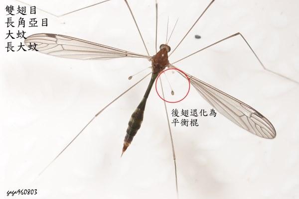 昆蟲的翅膀