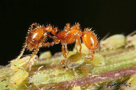 大頭家蟻 Pheidole sp.