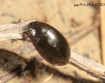 Sternolophus rufipes