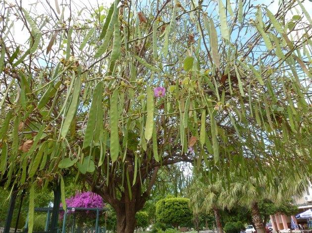 Blütenbaum mit Schoten