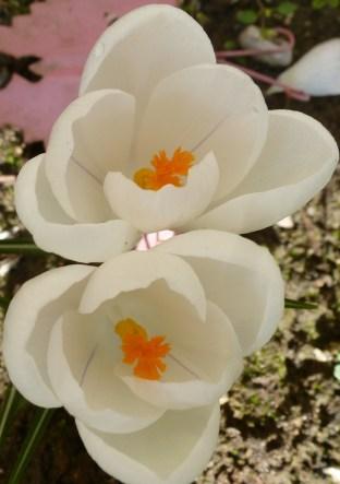weiße Krokusseblüten