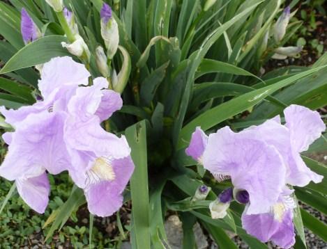 Hellblaue Lilienblüten