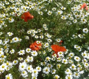 Mohnblüten im wilden Kamillefeld